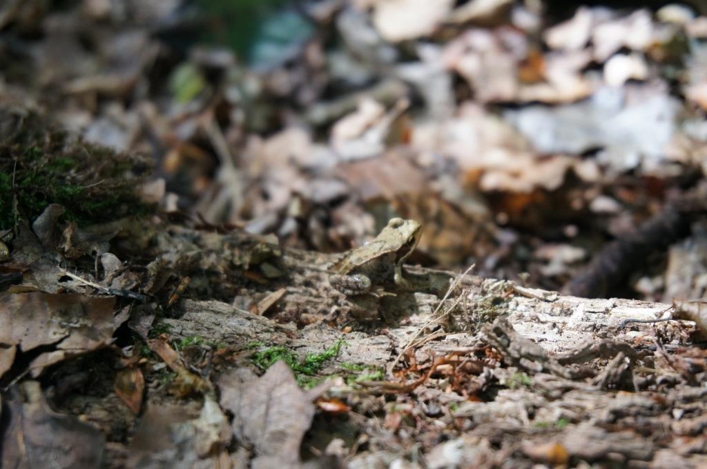 ソワーニュの森 カエル1