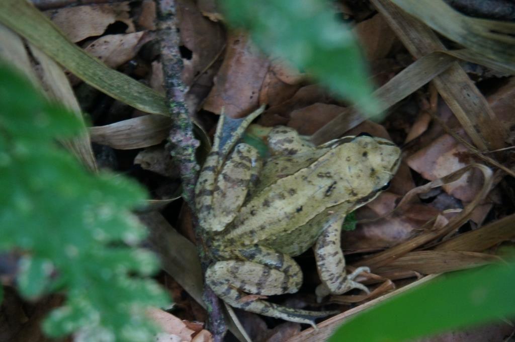 ソワーニュの森 カエル2